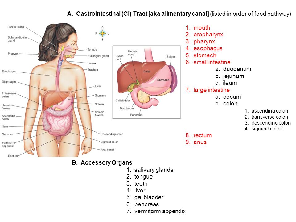 A. Gastrointestinal (GI) Tract [aka alimentary canal] (listed in order of food pathway) 1.